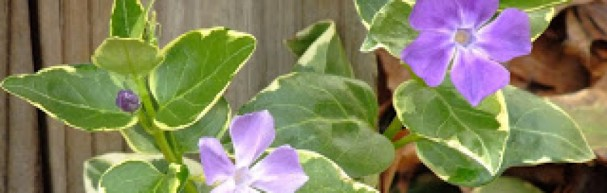 cropped-c0efa-bloomingmarch152013variegatedvincamajorgroundcovervinegreatincontainersiloveit.jpg