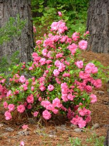 Azalea, Mother's Day, 2 May, 2013