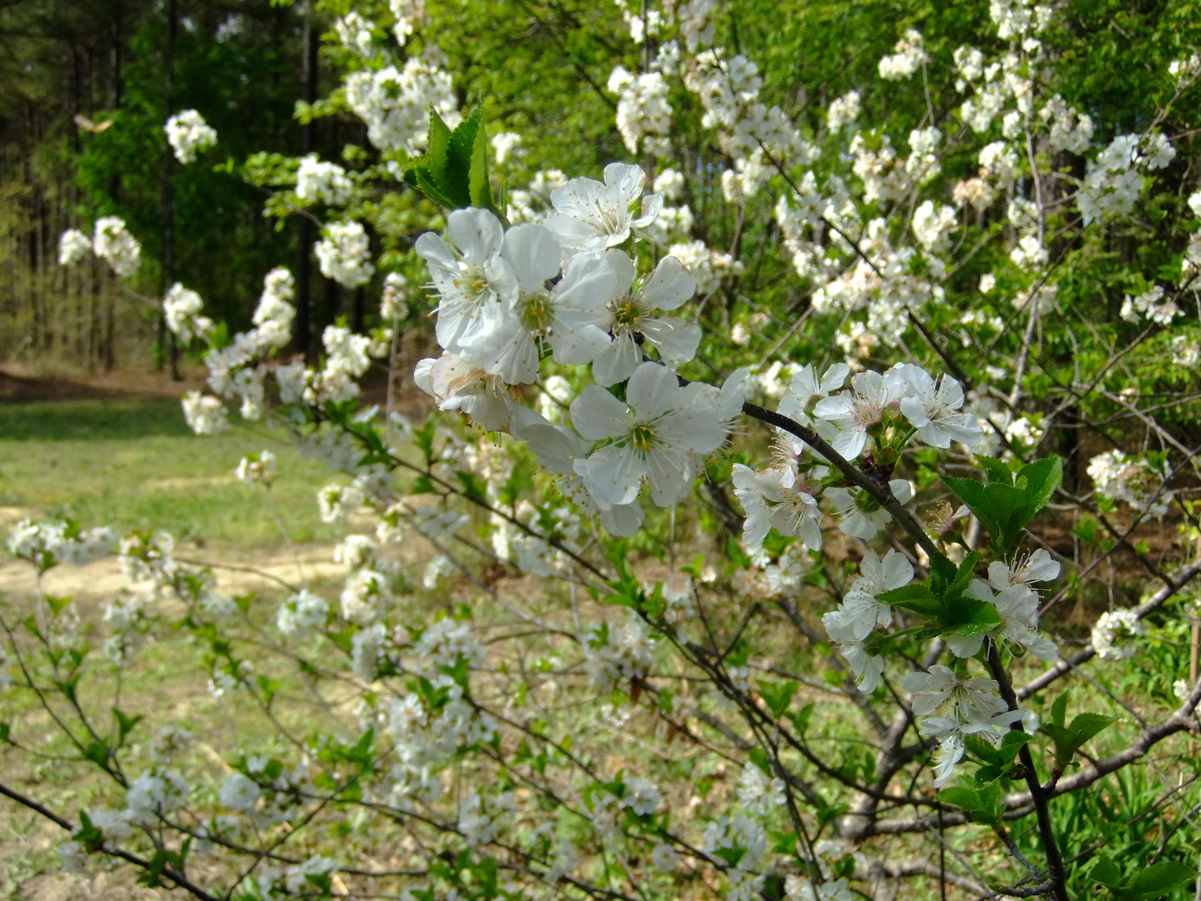 Recomendaciones de la planta - Mauve a los arbustos florecientes de la primavera púrpura - Jardinería & amp; Intercambio de Pila de Paisajismo