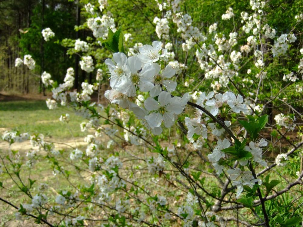 Spring Blooming Shrubs in my Garden in North Carolina (3/6)