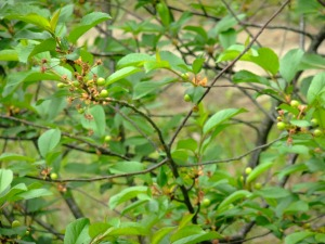 Cherry Tree, green cheeries beginning to form, 2 May, 2013