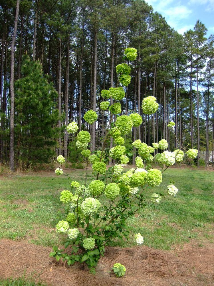 Spring Blooming Shrubs in my Garden in North Carolina (6/6)
