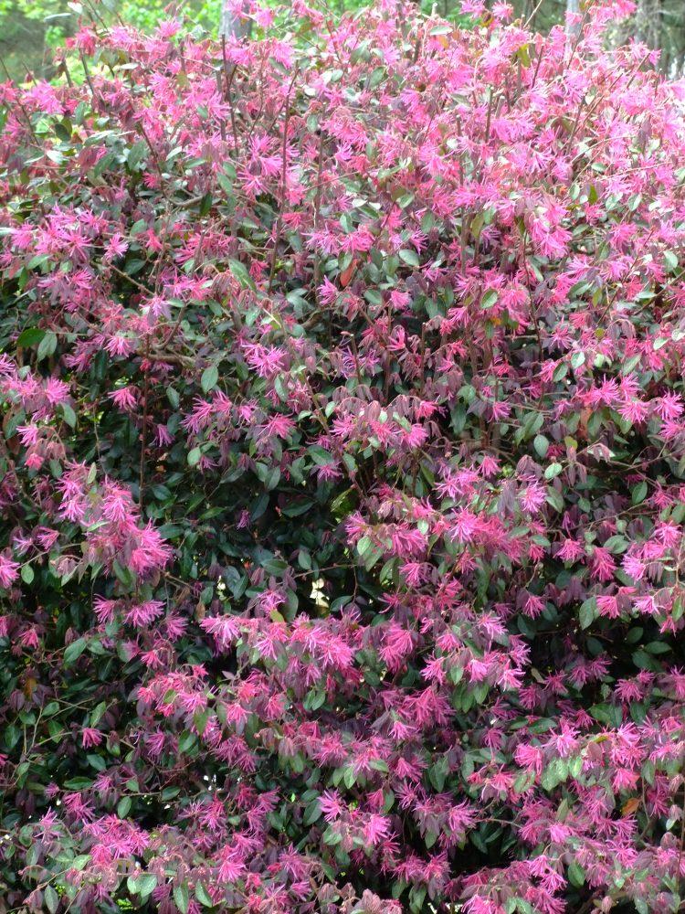 Spring Blooming Shrubs in my Garden in North Carolina (5/6)
