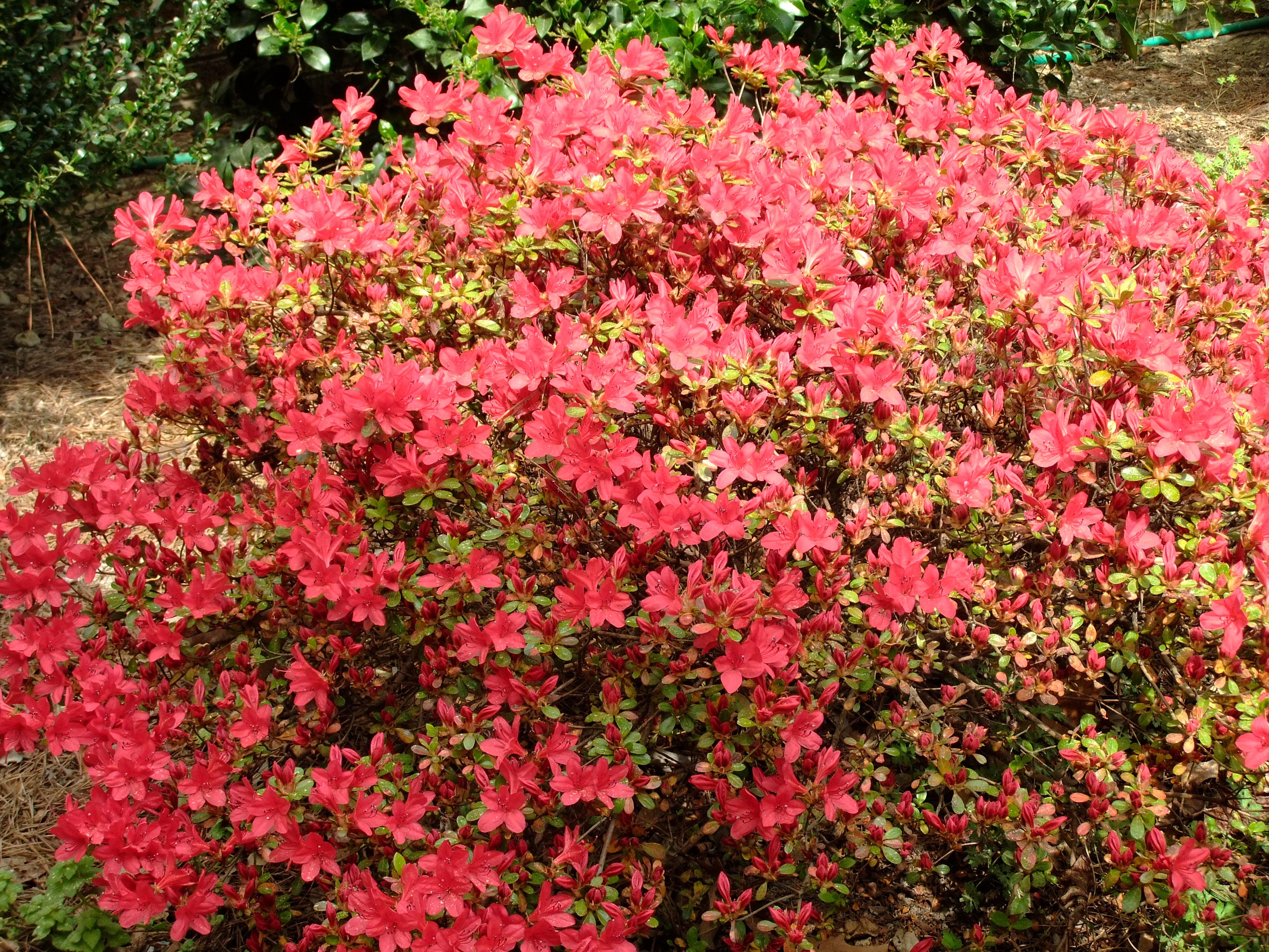 Cuidado del arbusto de flores de primavera | Muchas plantas