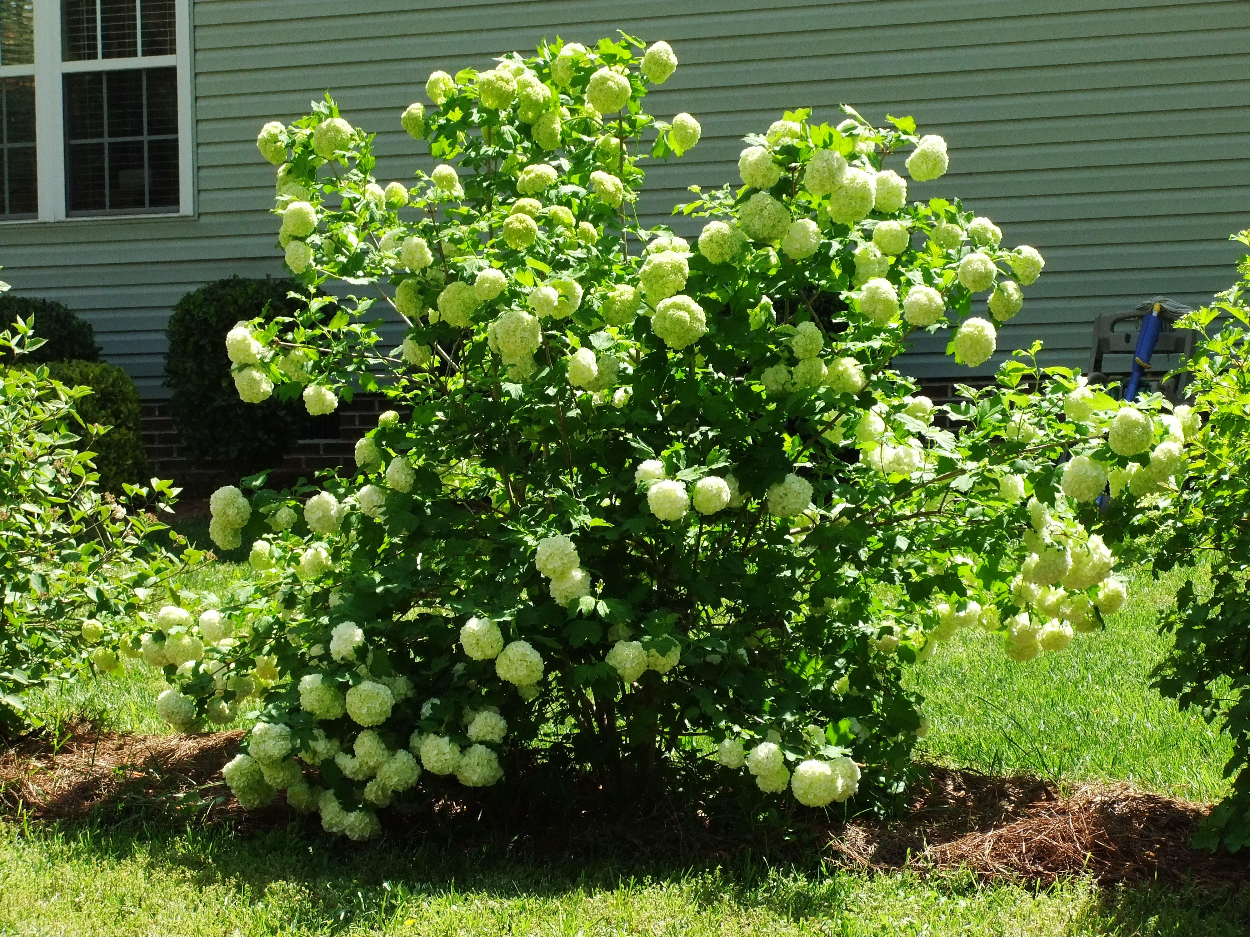 Poda de rododendros y otros arbustos de flores de primavera | La Posada en Honey Run