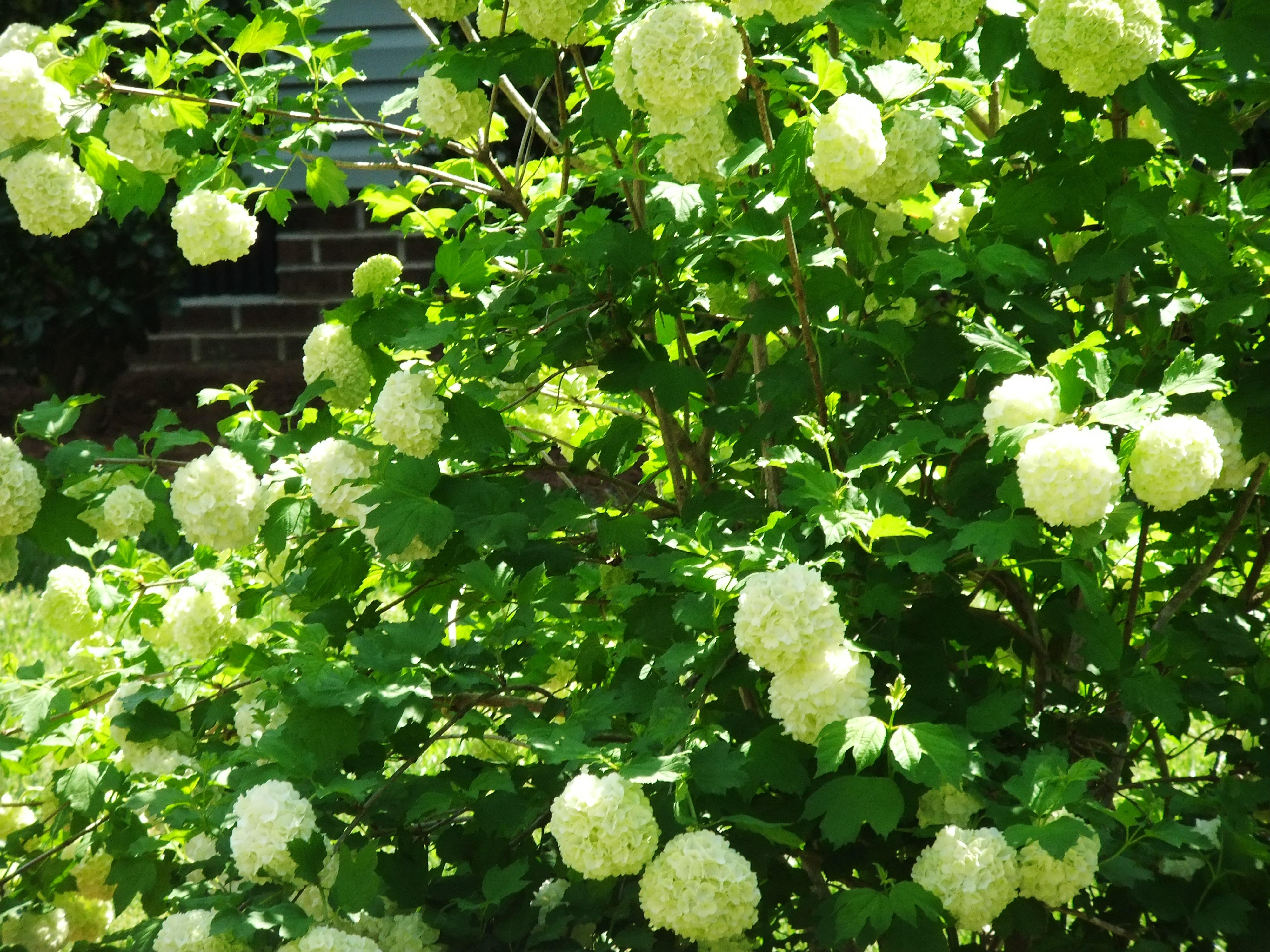 Arbustos florecientes de primavera - Farmington Gardens