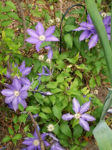 Purple Clematis, 2011