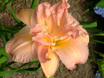 four colored peach, pink, lavendars, and yellow daylily, June 25, 2013