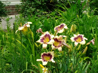 daylily, ceam, purple and yellow