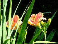painted daylily