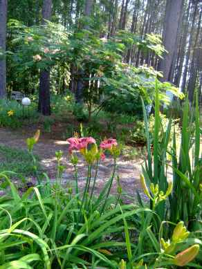 pink daylily with Mimosa tree in background