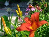 reddish orange, flame daylily