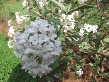 Viburnum snowball bush
