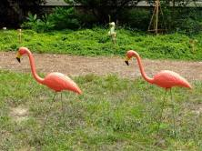 Helen's photo of pink flamingos struttung across her lawn