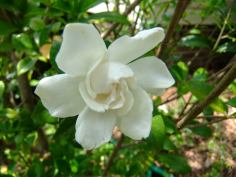 gardenia perfection, 2014