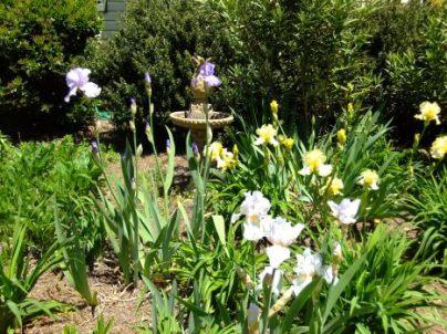 Irises 2014, Castlerock