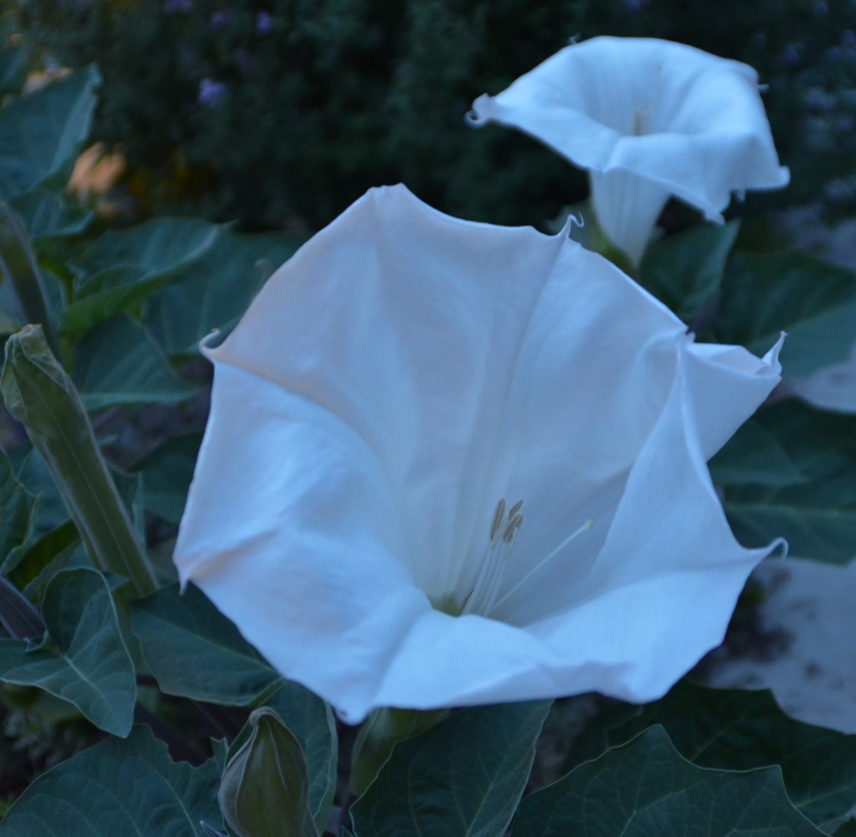Moon Flowers By Moonlight Heart Of A Southern Woman