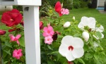 Hibiscus adorns the mailbox June - July.