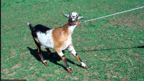 goat stubborn